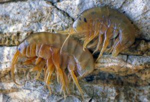 Gammaridae