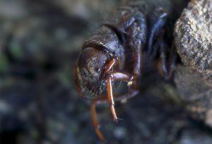 Halesus Digitatus